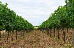 葡萄庭院 库存图片