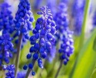葡萄开花在春天的风信花穆斯卡里在英国在英国 免版税库存图片