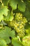 葡萄成熟白色 免版税库存照片