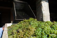 葡萄支架在收割期 免版税库存图片