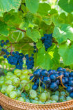 葡萄收获。秋天自然在有葡萄篮子的葡萄园里  免版税库存图片