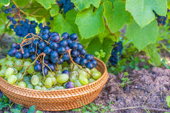 葡萄收获。秋天自然在有葡萄篮子的葡萄园里  免版税库存照片