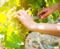 葡萄收获在一个葡萄园在卡赫季州地区,乔治亚里 妇女 免版税库存照片
