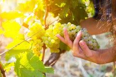 葡萄收获在一个葡萄园在卡赫季州地区,乔治亚里 妇女 图库摄影