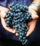 葡萄收获在意大利 库存图片