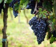 葡萄收获在意大利 图库摄影