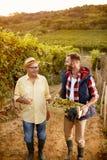 葡萄收获微笑的父亲和儿子葡萄园的 免版税库存照片