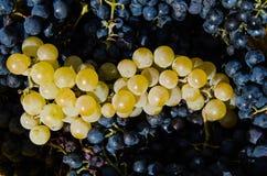 葡萄收获鲜美酒 免版税库存图片