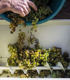 葡萄收获,农夫在挤压的现代机器投入了葡萄干葡萄 Chianti地区,托斯卡纳,意大利 库存图片