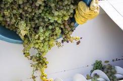 葡萄收获,农夫在挤压的现代机器投入了葡萄干葡萄 Chianti地区,托斯卡纳,意大利 免版税库存照片