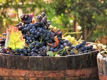 葡萄收获 库存图片