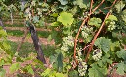 葡萄束在汽酒的生产的葡萄园里 库存图片