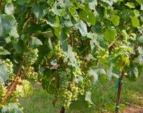 葡萄束在葡萄园里到wh的生产的一个农场里 库存照片