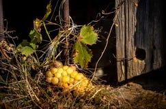 葡萄束看法在最旧的基石的在10月 免版税图库摄影