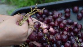 葡萄果子处理家的酒取消果子从词根与赤手 股票录像
