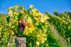 葡萄果子特写镜头葡萄园秋天留下种田Agricu的秋天 免版税库存照片