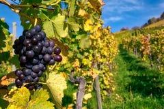 葡萄果子特写镜头葡萄园秋天留下种田Agricu的秋天 免版税库存图片