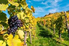 葡萄果子特写镜头葡萄园秋天留下种田Agricu的秋天 免版税图库摄影