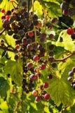 葡萄柚在阳光下 库存照片