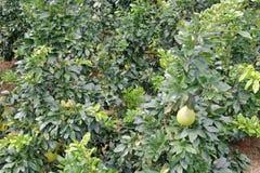 葡萄柚森林 库存图片