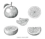 葡萄柚汇集手凹道葡萄酒在whi隔绝的剪贴美术 皇族释放例证