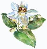 葡萄柚花,水彩 皇族释放例证