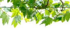 葡萄树分行 库存照片