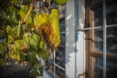 葡萄树叶子在早期的冬天 图库摄影