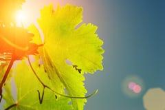 葡萄树叶子 免版税图库摄影