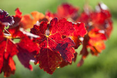 葡萄树叶子  免版税库存照片