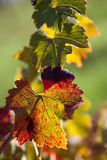 葡萄树叶子  图库摄影