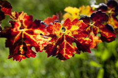 葡萄树叶子  库存图片