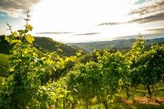葡萄树在一个老葡萄园在托斯卡纳葡萄种植业区域,意大利里 库存照片