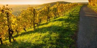 葡萄树在一个葡萄园里在黄色阳光下 库存图片