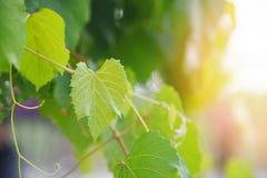 葡萄树在分支热带植物的绿色叶子葡萄园自然的 免版税图库摄影