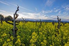 葡萄树在加利福尼亚葡萄酒国家 免版税库存照片