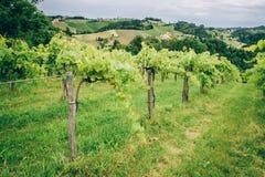 葡萄树在南施蒂里亚 免版税库存照片