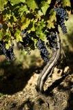 葡萄树在斯科普里附近的一个葡萄园里 免版税库存照片