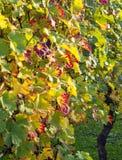 葡萄树在秋天太阳的转动颜色 库存照片