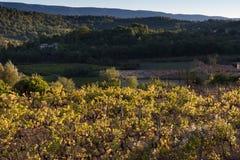 葡萄树在秋天 库存照片