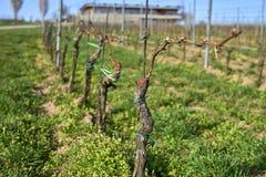 葡萄树在葡萄园排行在春天,摩拉维亚的开头部分 库存照片