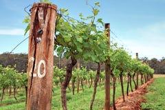 葡萄树在葡萄园里 库存照片