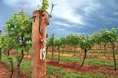 葡萄树在葡萄园里 免版税图库摄影