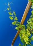 葡萄树年轻人 图库摄影