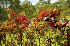 葡萄树特写镜头红色叶子 免版税库存图片