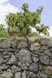 葡萄树用在石墙背景的黑葡萄 库存图片
