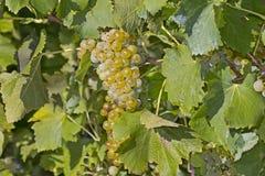 葡萄树白葡萄酒 免版税库存图片