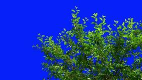 葡萄树的叶子摇摆对风 股票录像