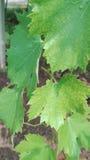 葡萄树的绿色叶子 免版税库存照片