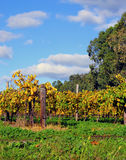 葡萄树秋天在酿酒厂葡萄园里 库存图片